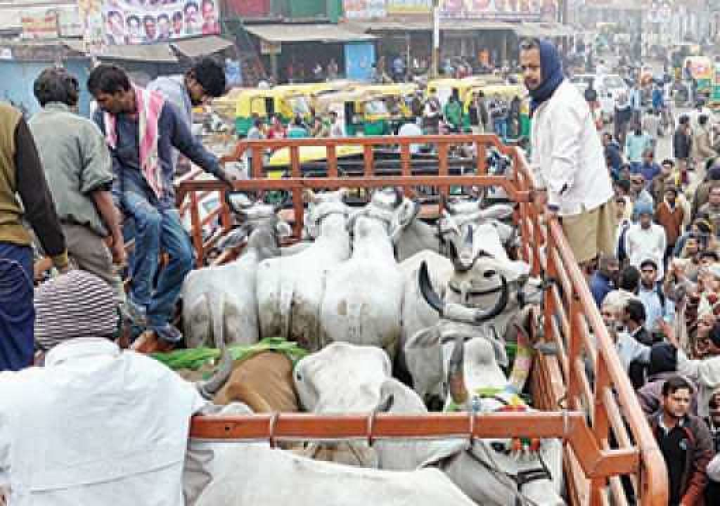 Vehicles transporting stray cows to shelters attacked in Aligarh