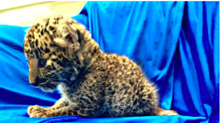 Leopard cub inside airport baggage Seized by AI unit of  customs