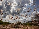 Swarms in Jaipur cover 150kms a day and eat 35,000 people food  warns UNFAO
